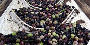 Kazdağları'nın eteklerinde zeytin bolluğu